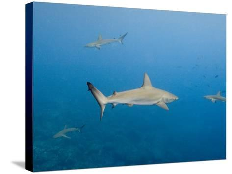 Galapagos Shark Off of Wolf Island, Galapagos Islands, Ecuador-Pete Oxford-Stretched Canvas Print
