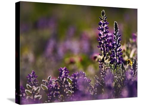 Backlit Lupine Flowers, Glacier National Park, Montana, USA-Adam Jones-Stretched Canvas Print