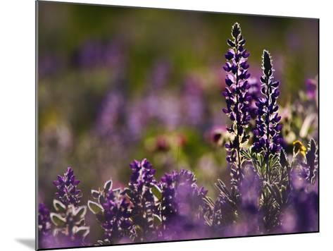 Backlit Lupine Flowers, Glacier National Park, Montana, USA-Adam Jones-Mounted Photographic Print
