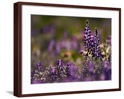 Backlit Lupine Flowers, Glacier National Park, Montana, USA-Adam Jones-Framed Art Print