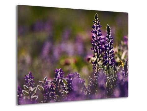 Backlit Lupine Flowers, Glacier National Park, Montana, USA-Adam Jones-Metal Print