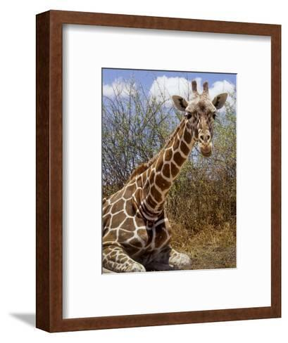 Giraffe Lying Down, Loisaba Wilderness, Laikipia Plateau, Kenya-Alison Jones-Framed Art Print