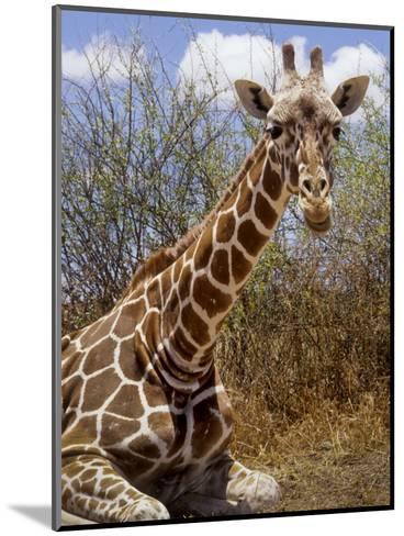 Giraffe Lying Down, Loisaba Wilderness, Laikipia Plateau, Kenya-Alison Jones-Mounted Photographic Print