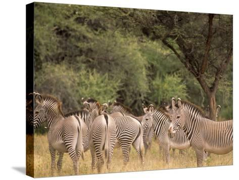 Herd of Grevy's Zebras, Shaba National Reserve, Kenya-Alison Jones-Stretched Canvas Print