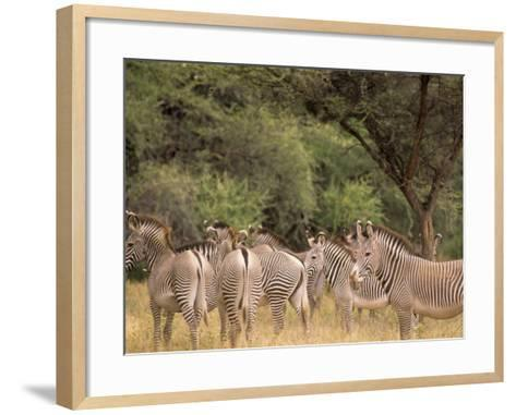 Herd of Grevy's Zebras, Shaba National Reserve, Kenya-Alison Jones-Framed Art Print
