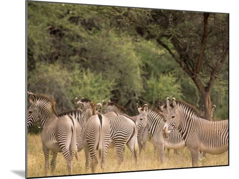 Herd of Grevy's Zebras, Shaba National Reserve, Kenya-Alison Jones-Mounted Photographic Print