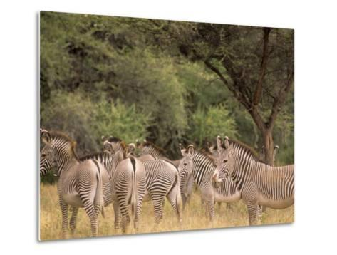 Herd of Grevy's Zebras, Shaba National Reserve, Kenya-Alison Jones-Metal Print