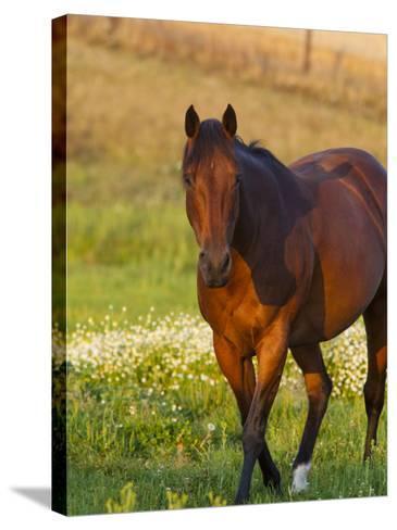 Horse in Pasture Near Pullman, Washington, USA-Chuck Haney-Stretched Canvas Print
