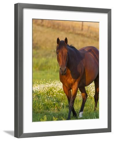 Horse in Pasture Near Pullman, Washington, USA-Chuck Haney-Framed Art Print