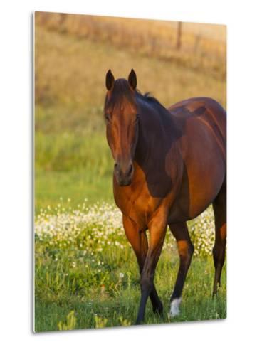 Horse in Pasture Near Pullman, Washington, USA-Chuck Haney-Metal Print