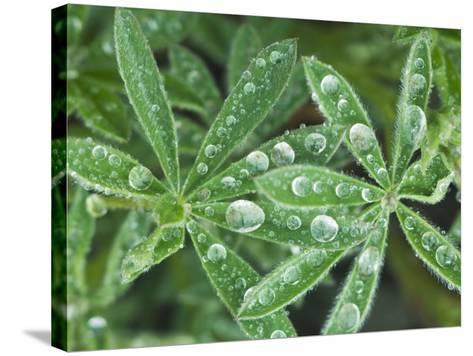 Dew Drops on Leaves-Rob Tilley-Stretched Canvas Print