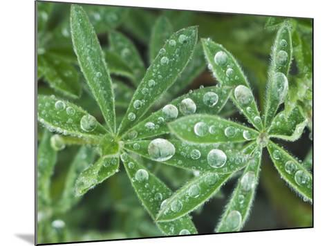 Dew Drops on Leaves-Rob Tilley-Mounted Photographic Print