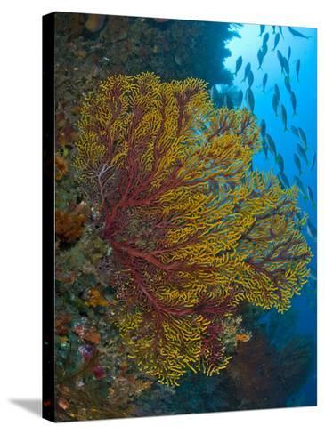 Colorful Sea Fan Or Gorgonian Coral, Raja Ampat, Indonesia--Stretched Canvas Print