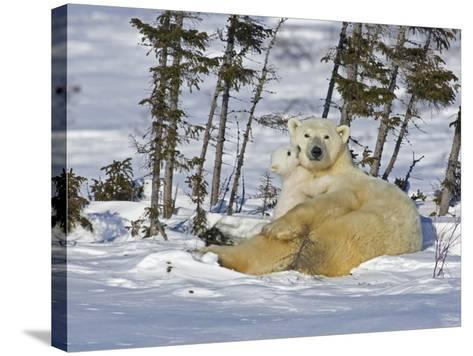 Polar Bear Cub Playing With a Watchful Mother, Wapusk National Park, Manitoba, Canada-Cathy & Gordon Illg-Stretched Canvas Print