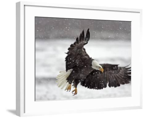 Bald Eagle Flies in Snowstorm, Chilkat Bald Eagle Preserve, Alaska, USA-Cathy & Gordon Illg-Framed Art Print