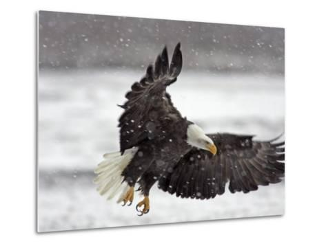 Bald Eagle Flies in Snowstorm, Chilkat Bald Eagle Preserve, Alaska, USA-Cathy & Gordon Illg-Metal Print