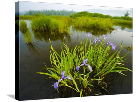Large Blue Flag on East Inlet in Pittsburg, New Hampshire, USA-Jerry & Marcy Monkman-Stretched Canvas Print