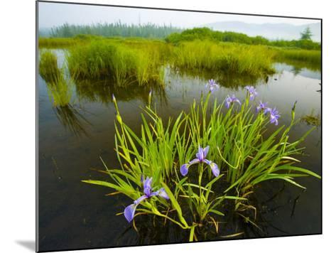 Large Blue Flag on East Inlet in Pittsburg, New Hampshire, USA-Jerry & Marcy Monkman-Mounted Photographic Print