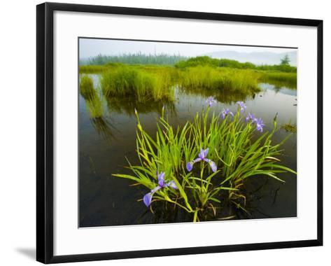 Large Blue Flag on East Inlet in Pittsburg, New Hampshire, USA-Jerry & Marcy Monkman-Framed Art Print