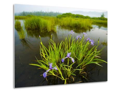 Large Blue Flag on East Inlet in Pittsburg, New Hampshire, USA-Jerry & Marcy Monkman-Metal Print