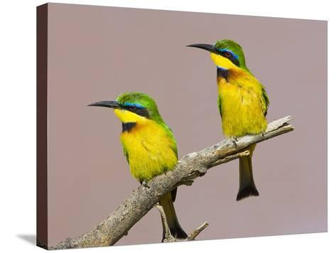Two Little Bee-Eater Birds on Limb, Kenya-Joanne Williams-Stretched Canvas Print