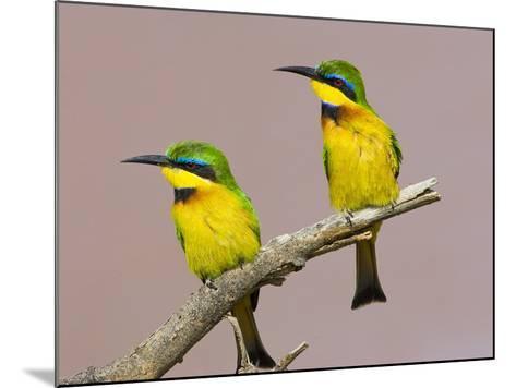 Two Little Bee-Eater Birds on Limb, Kenya-Joanne Williams-Mounted Photographic Print