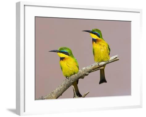 Two Little Bee-Eater Birds on Limb, Kenya-Joanne Williams-Framed Art Print