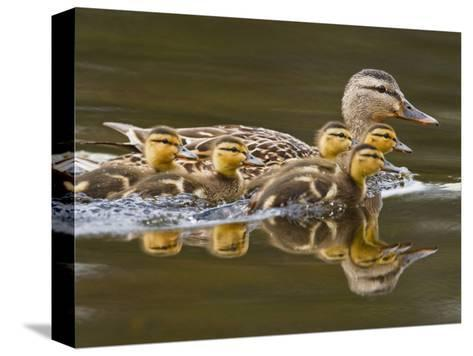 Mallard Duck and Chicks Near Kamloops, British Columbia, Canada-Larry Ditto-Stretched Canvas Print