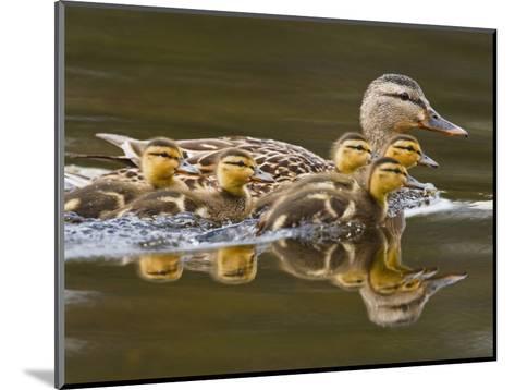 Mallard Duck and Chicks Near Kamloops, British Columbia, Canada-Larry Ditto-Mounted Photographic Print