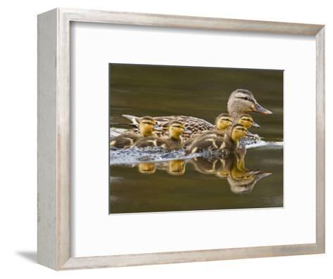 Mallard Duck and Chicks Near Kamloops, British Columbia, Canada-Larry Ditto-Framed Art Print