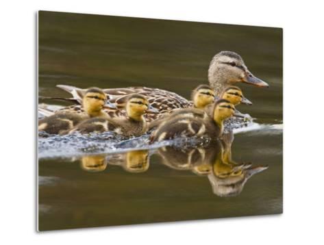 Mallard Duck and Chicks Near Kamloops, British Columbia, Canada-Larry Ditto-Metal Print