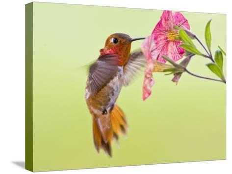 Rufous Hummingbird Feeding in a Flower Garden, British Columbia, Canada-Larry Ditto-Stretched Canvas Print