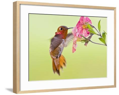 Rufous Hummingbird Feeding in a Flower Garden, British Columbia, Canada-Larry Ditto-Framed Art Print