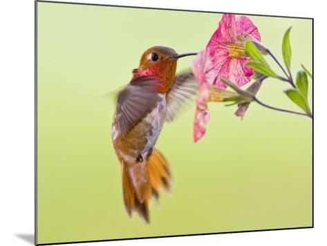 Rufous Hummingbird Feeding in a Flower Garden, British Columbia, Canada-Larry Ditto-Mounted Photographic Print