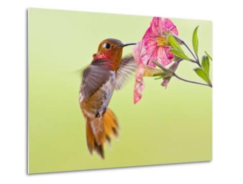 Rufous Hummingbird Feeding in a Flower Garden, British Columbia, Canada-Larry Ditto-Metal Print