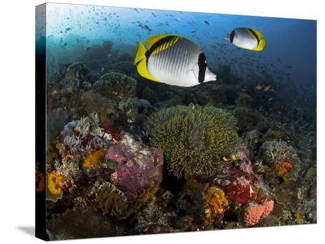 Lined Butterflyfish Swim Over Reef Corals, Komodo National Park, Indonesia-Jones-Shimlock-Stretched Canvas Print
