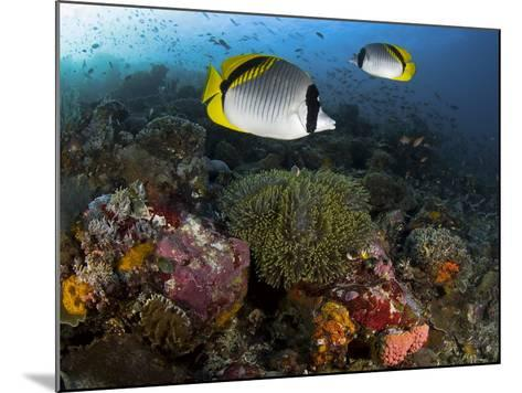 Lined Butterflyfish Swim Over Reef Corals, Komodo National Park, Indonesia-Jones-Shimlock-Mounted Photographic Print