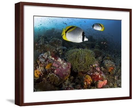 Lined Butterflyfish Swim Over Reef Corals, Komodo National Park, Indonesia-Jones-Shimlock-Framed Art Print