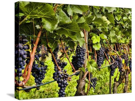 Close Up of Grapes at Hofkellerei Winery, Liechtenstein-Bill Bachmann-Stretched Canvas Print