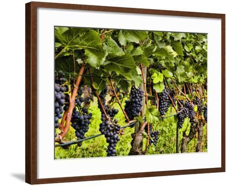 Close Up of Grapes at Hofkellerei Winery, Liechtenstein-Bill Bachmann-Framed Art Print
