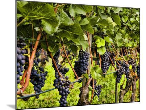 Close Up of Grapes at Hofkellerei Winery, Liechtenstein-Bill Bachmann-Mounted Photographic Print
