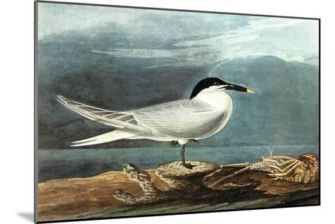 American Coot-John James Audubon-Mounted Art Print
