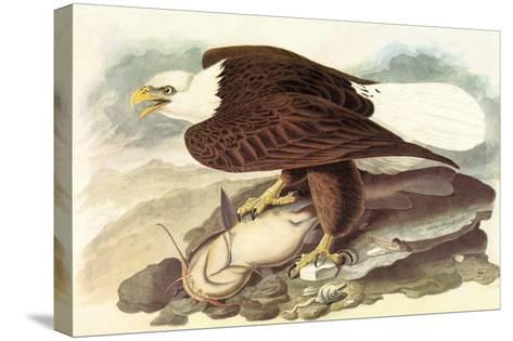 Bald Eagle 2-John James Audubon-Stretched Canvas Print
