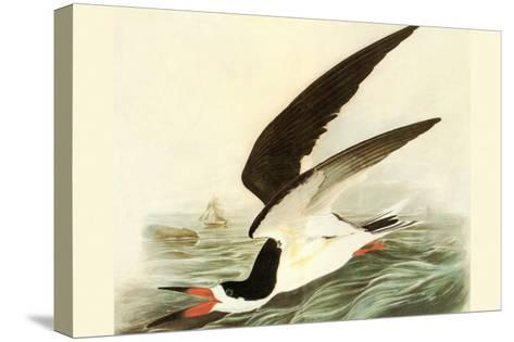 Black Skimmer-John James Audubon-Stretched Canvas Print