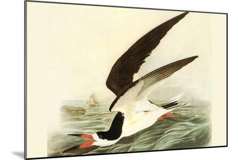 Black Skimmer-John James Audubon-Mounted Art Print