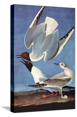 Bonapartes Gull-John James Audubon-Stretched Canvas Print