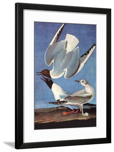 Bonapartes Gull-John James Audubon-Framed Art Print