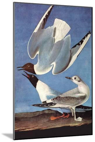 Bonapartes Gull-John James Audubon-Mounted Art Print
