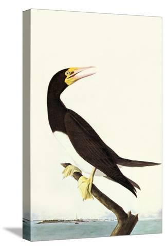 Brown Booby-John James Audubon-Stretched Canvas Print