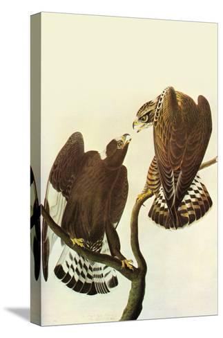 Roughlegged Hawk-John James Audubon-Stretched Canvas Print